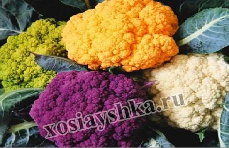 Цветная капуста представляет собой однолетнее растение, в высоту вырастает до 70 см