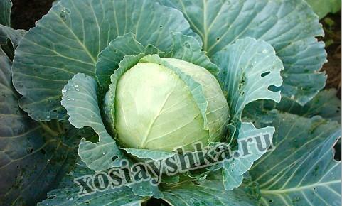 Белокочанная капуста это двулетнее растение.