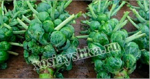 Брюссельскую капусту в европейских странах начали выращивать лишь в XVI веке, а именно в 1598 году.